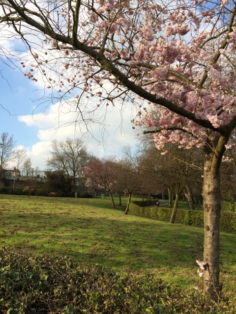 photo of cherry tree with pink blossom